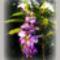 Természetfotók,   lila akác virága....