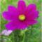 Balaton és virágaim. 16