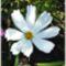Balaton és virágaim. 17