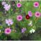 Balaton és virágaim. 18