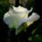 kertem, mezők virágai 1