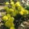 krizantém sárga1