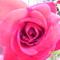 saját rózsa