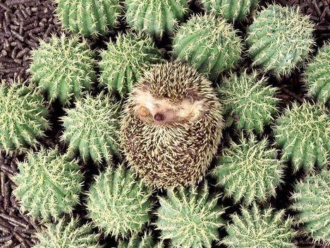 süni a kaktuszok között
