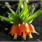 Virágaink,  császárkorona.....