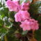 Fokföldi ibolya - Saintpaulia ionantha