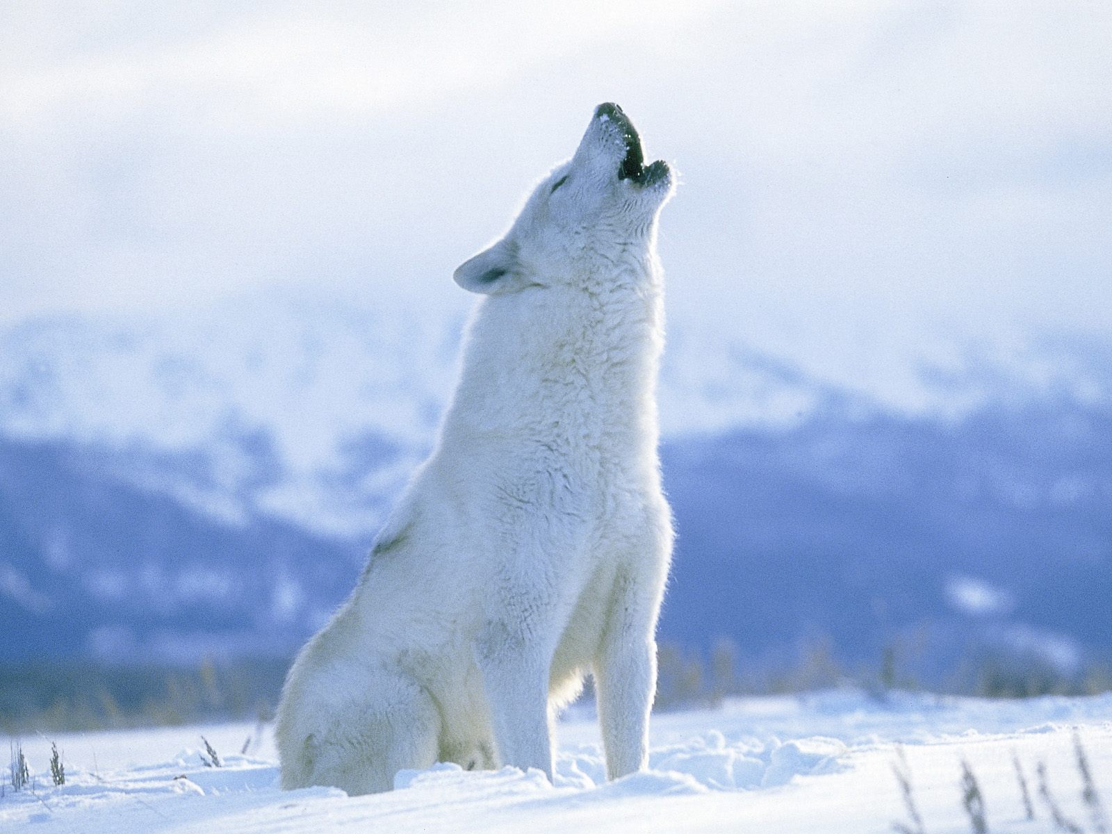 állatkert:... Growling Black Wolf With Yellow Eyes