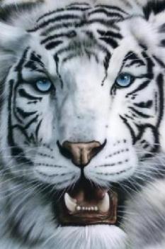 Albino tigris 1
