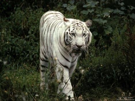 Albino tigris 3