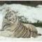 fehér tigris 2