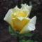 Harmatos sárga rózsám