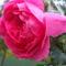 Rózsám!  -  Hajninak