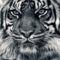 tigris 2009