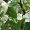 birs-virág