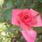erős rózsaszín