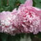 pünkösd rózsa 002