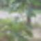 régi füge uj hajtásai és termései