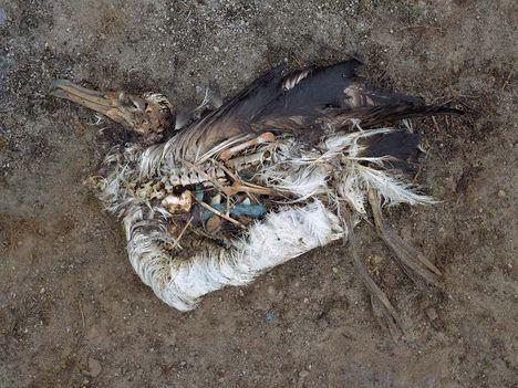 Albatrosz tetemek! Őket mi öltük meg !!! 28