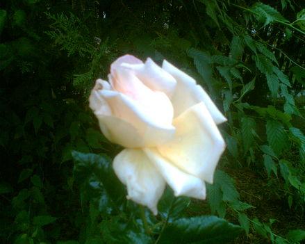 Az év utolsó rózsái sárga