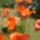 kondorosi rozi