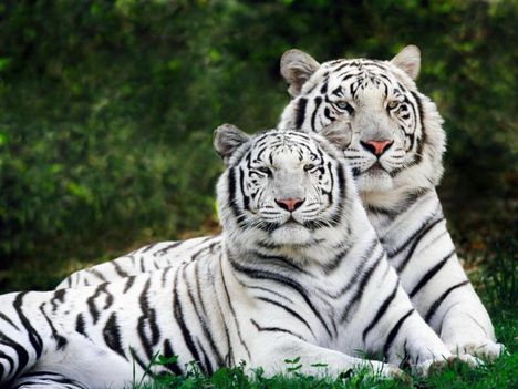 white tiger pair