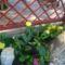 téli kaktusz
