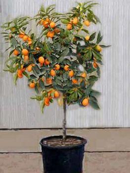 citrus_kumquat_l2