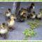Madarak okozta:Papagájbetegség. 6
