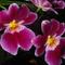 orchidea fajta