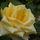 Tüsi rózsái
