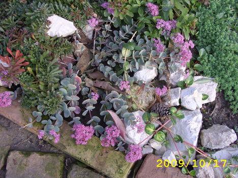 még nyilik a sziklakerti növény