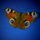 Pillangóm