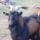 Végre van kecském