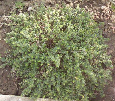 citromillatú kakukkfű terjeszkedik