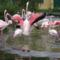 Flamingó tánc