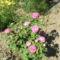 Régi rózsa, - hatalmas az illata