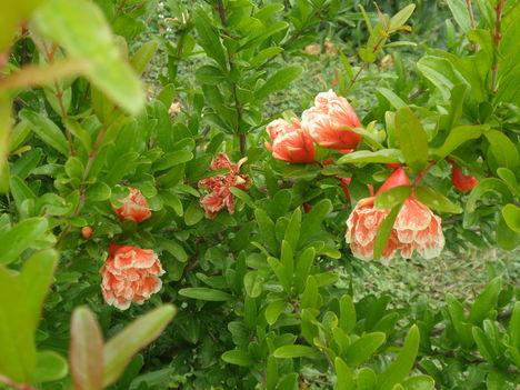 Szegfűfa és virága ?