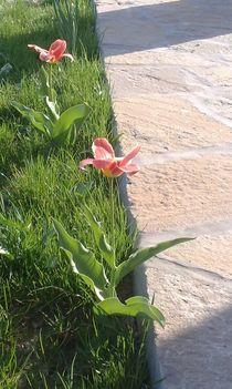 tavasz=tulipán