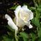 Rózsák 4
