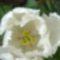 fehér tulipán  közelről