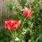 még több tulipán