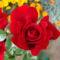 A mély bordó rózsám