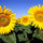 Filed_of_sunflowers_44292_582938_t