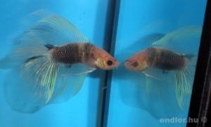 akvarista 4