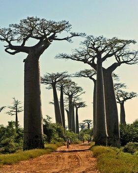 Baobab Avenue Madagaszkár
