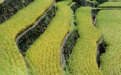 Rizsföldek teraszos földműveléssel Ázsiában