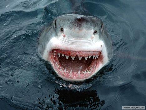 Fehér cápa