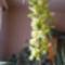 Cynbidium orchidea /közelről/