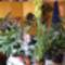 Cynbidium orchidea /távolról/