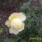 novemberi rózsa